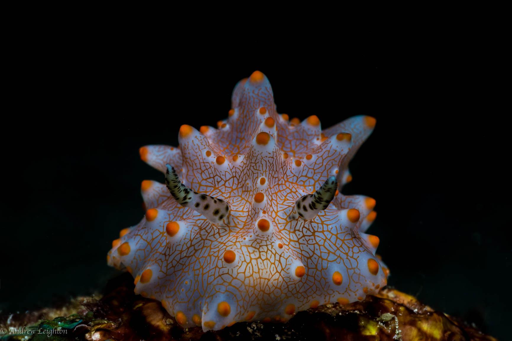 Batangas Halgerda Nudibranch