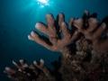 Hard Coral at Sombrero Island