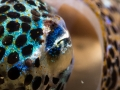 Pygmy Bobtail Squid eye