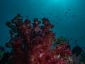 Soft Coral at Sombrero Island