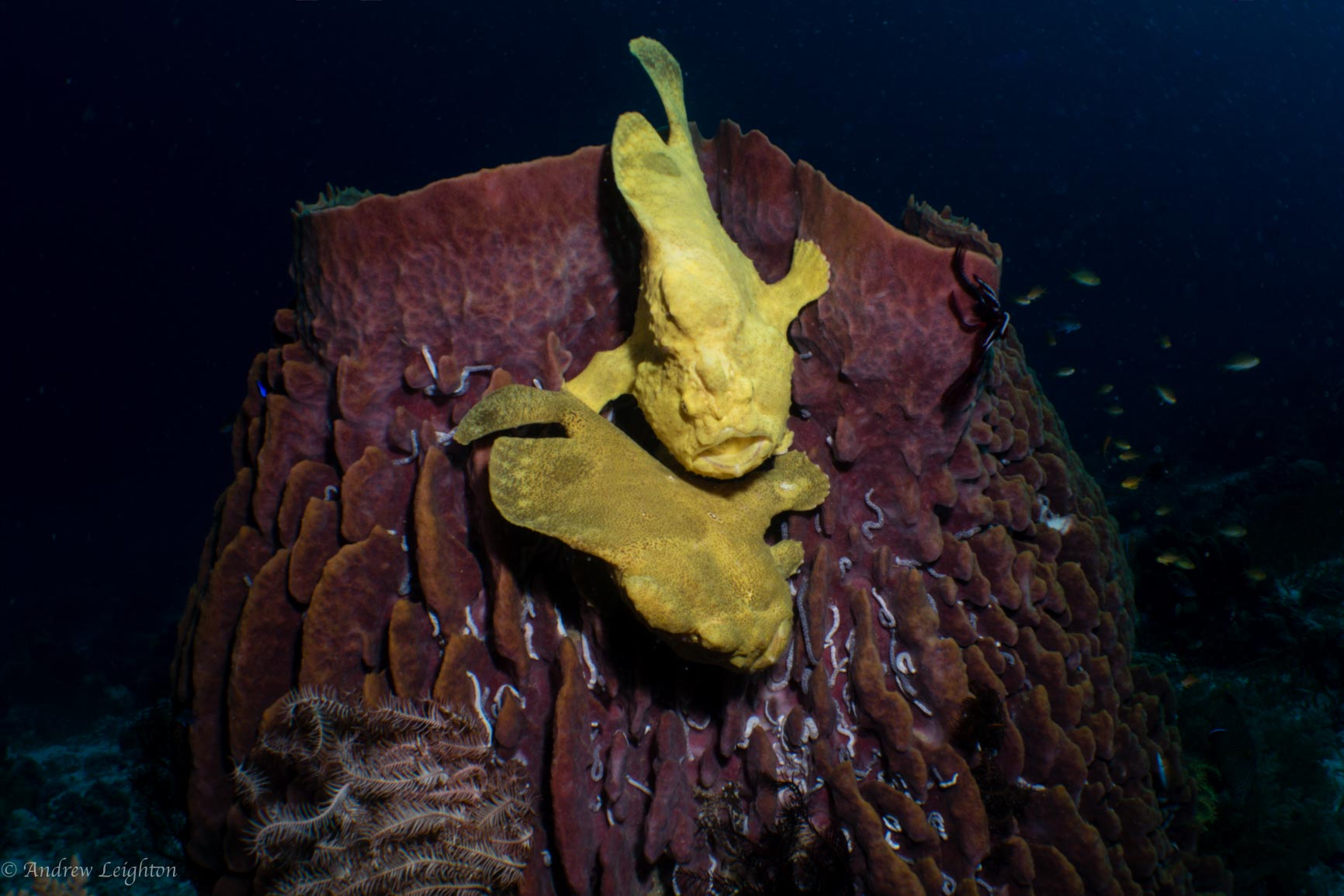 Mating Giant Frogfish