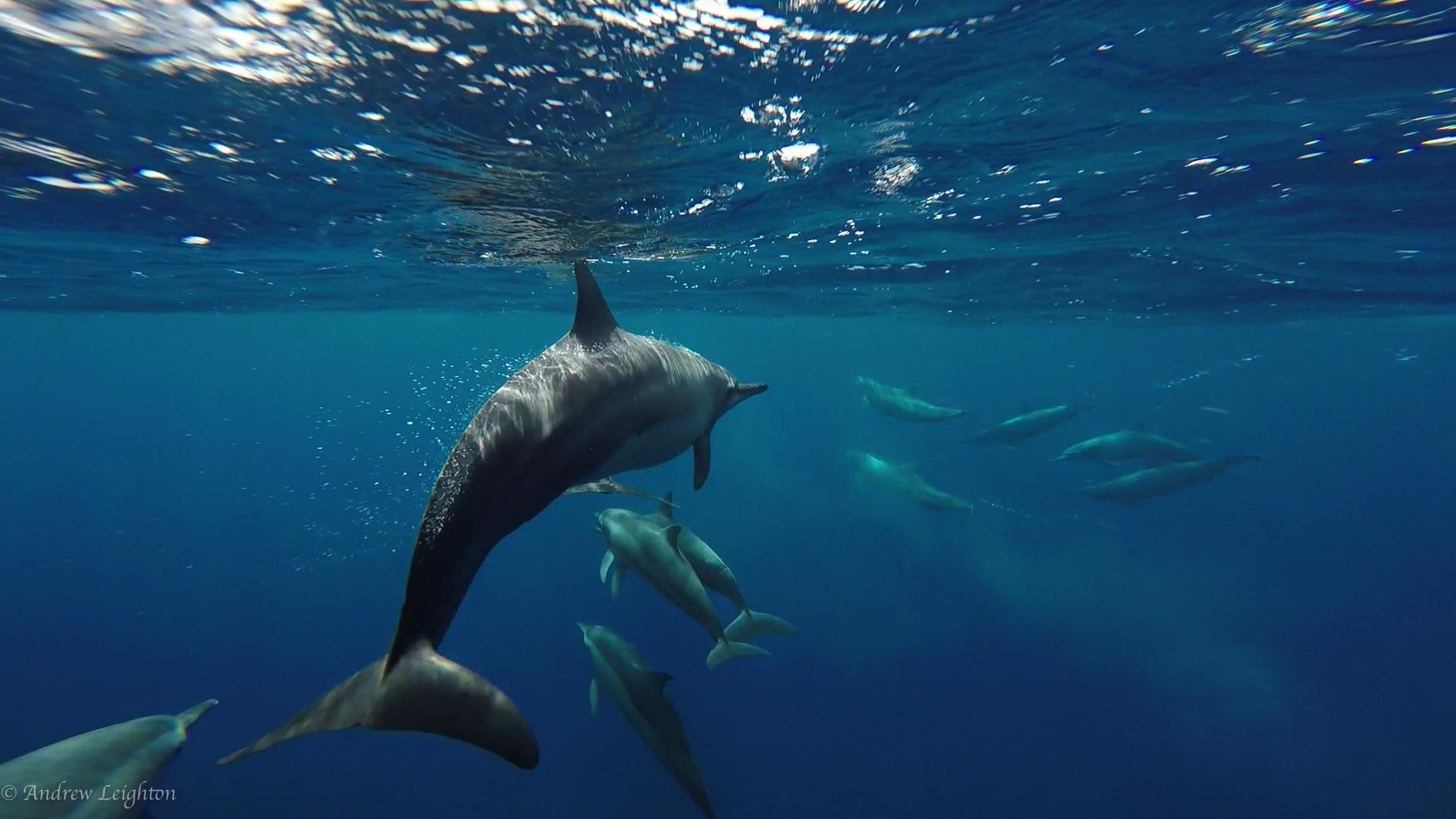 Dolphins of Apo Island