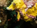 Painted Frogfish with Nudibranch crawling on it
