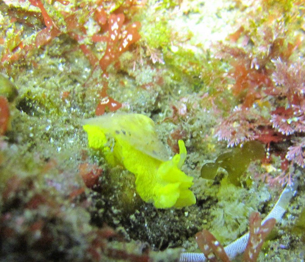 Yellow Umbrella Slug
