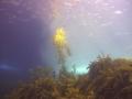 Sunlight half lights up kelp