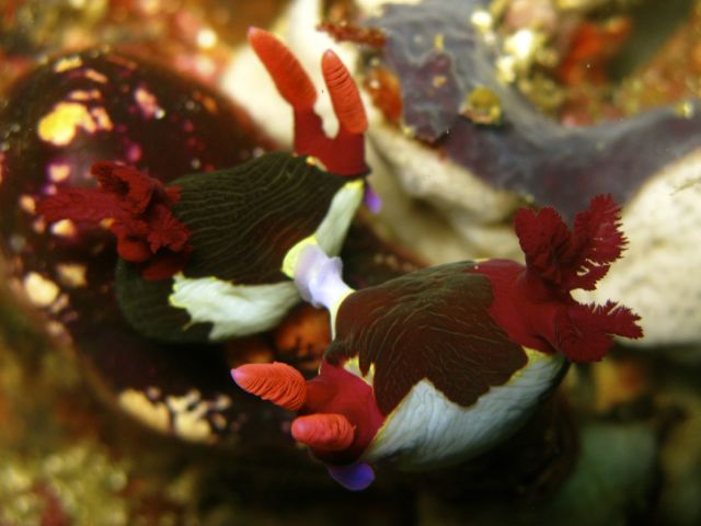 Nembrotha purpureolineata Mating