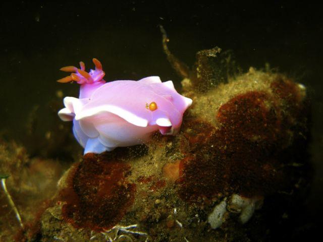 Pink Dorid Nudibranch