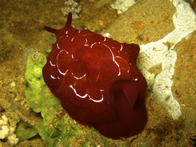 Pleurobranchus forskali nudibranch