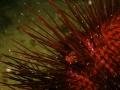 Fire Shrimp on Sea Urchin