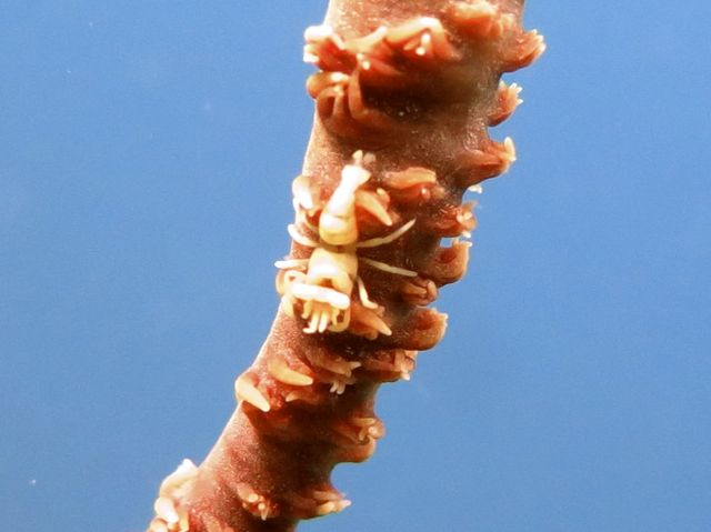 Black Coral Shrimp