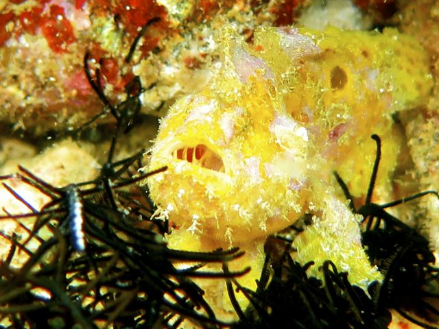 Juvenille Frogfish