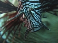 Red Lionfish with mouth open