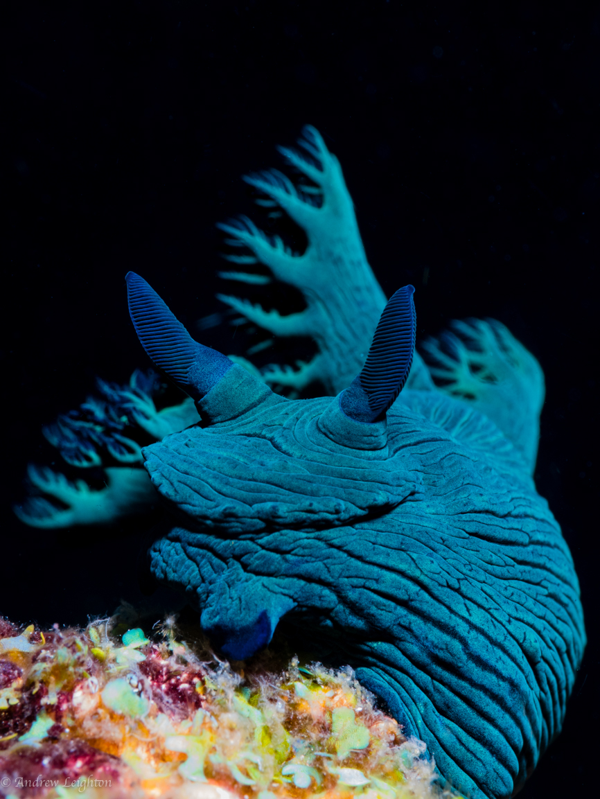 Nembrotha Milleri Nudibranch