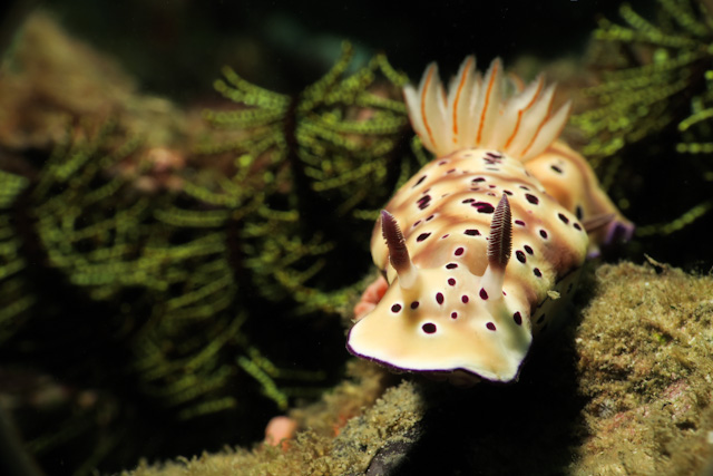 Tryon's Risbecia Nudibranch