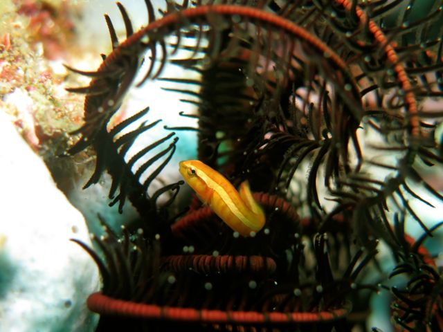 Twoline clingfish, Doubleline clingfish or Feather Star Clingfish