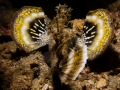 Spiny Devil Scorpionfish