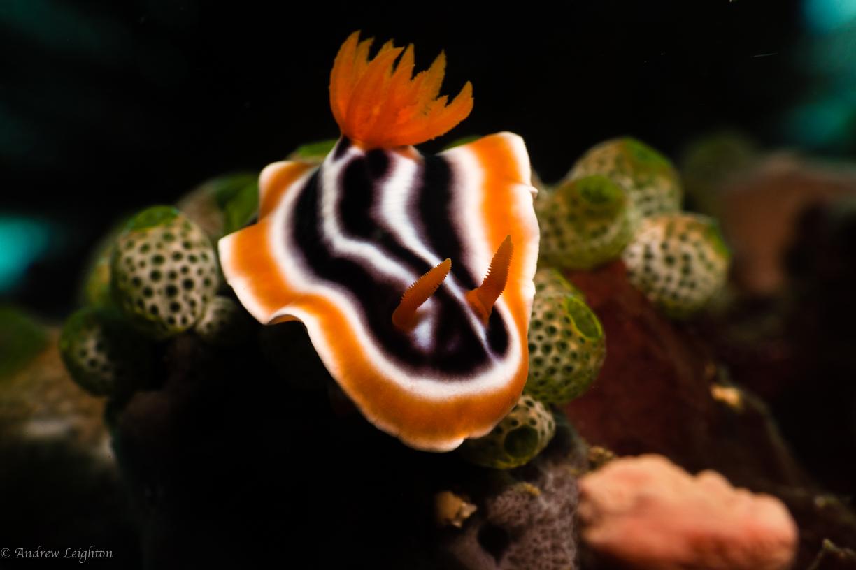 Chromodoris magnifica Nudibranch