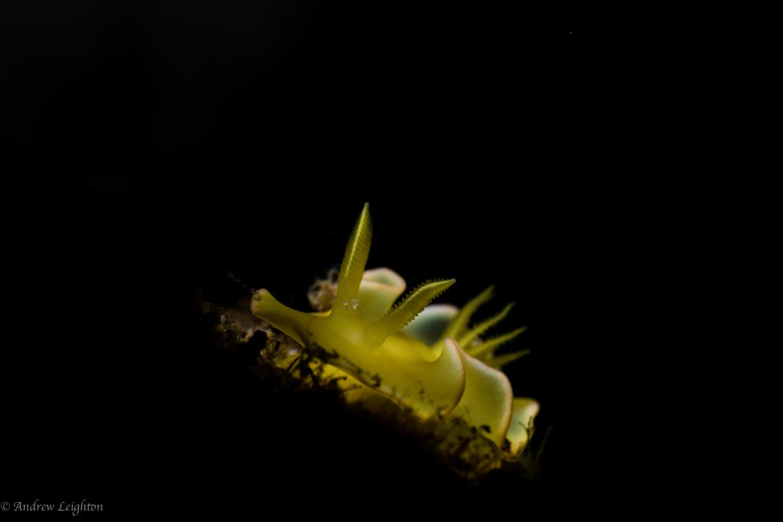 Glossodoris Sp.8 Nudibranch