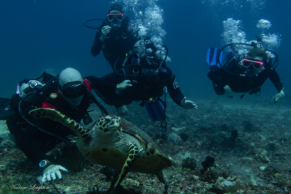 Hawksbill Sea Turtle with Divers