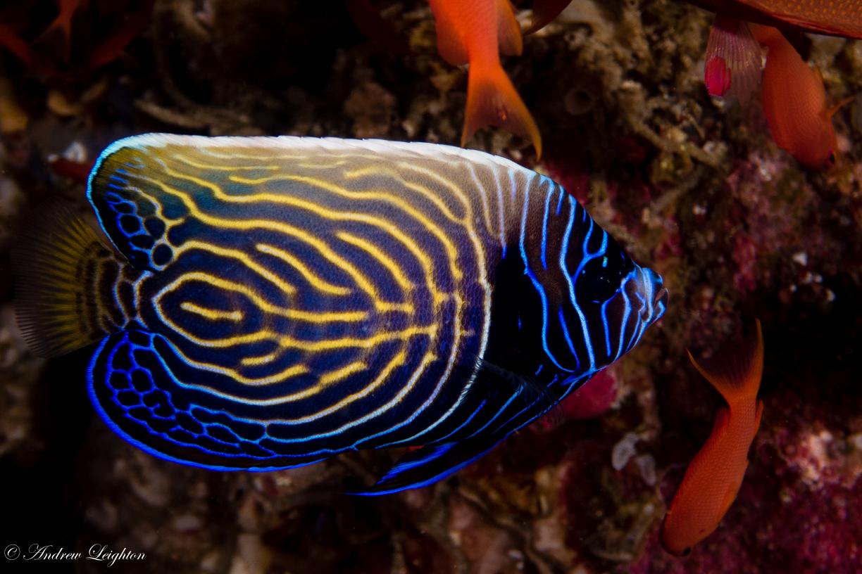 Juvenille Emperor Anglefish
