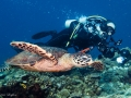 Hawksbill Sea Turtle and Diver