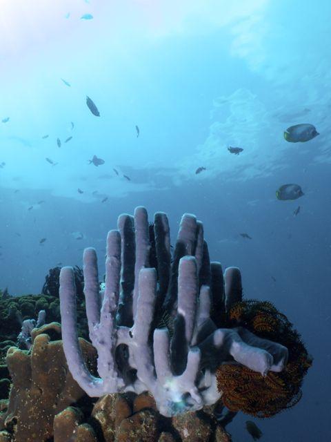 Purple Tube Sponges