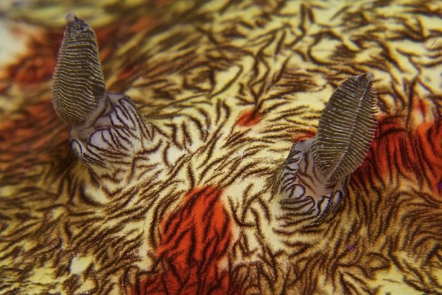 Bloody Platydoris Nudibranch