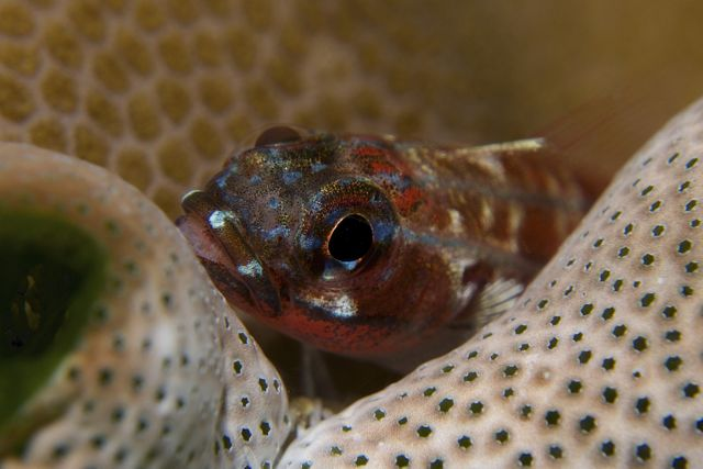 Goby carrying eggs in mouth