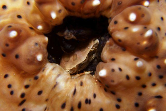 Sea Cucumber Swimming Crab