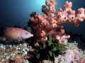 Redfin Hogfish Wrasse and Soft Coral