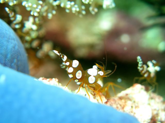 Sexy Shrimp (Thor amboinensis)
