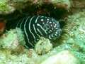 Zebra Moray eel (Gymnomuraena zebra)