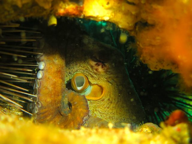Octopus next to a sea urchin