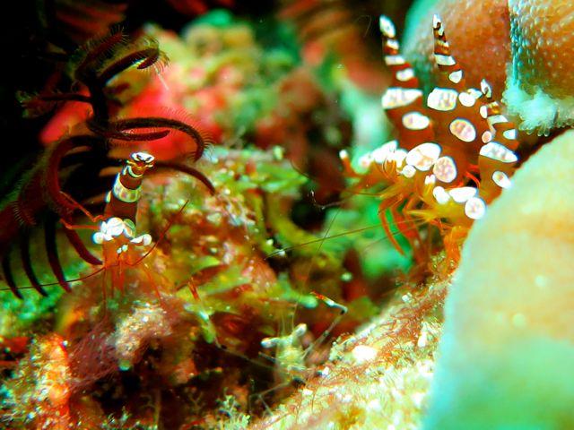 Sexy Shrimp and a cleaner shrimp
