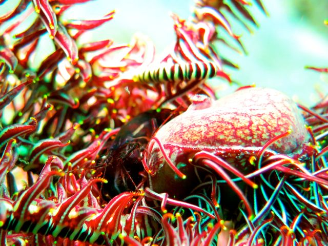 Snapping Shrimp on Feather Star