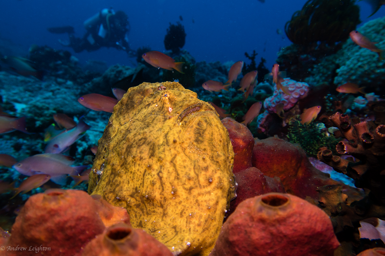 Giant Yellow Frogfish with diver
