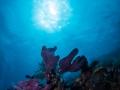 Coral with sunburst