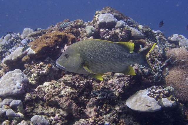 Bluelipped Snapper