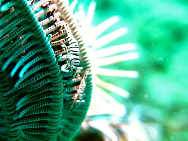 Two Crinoid shrimp on Feather Star