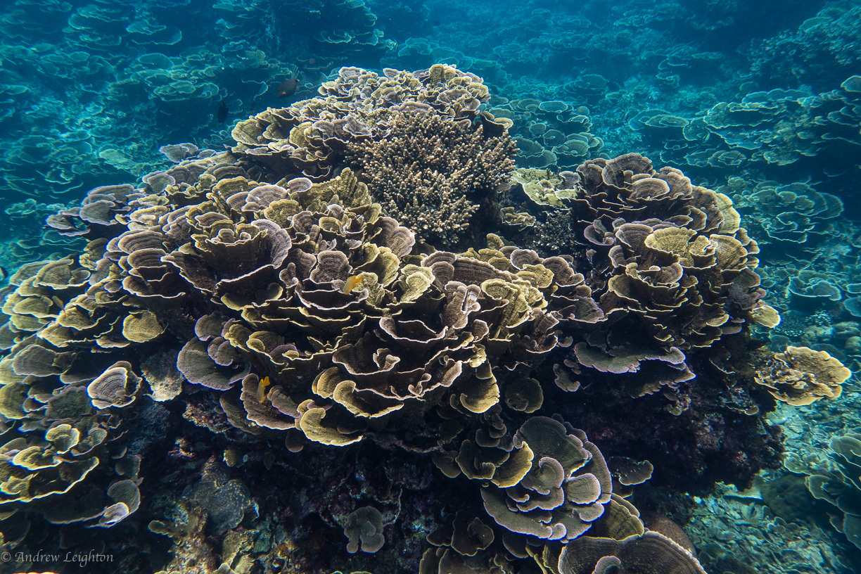 Cabbage Coral while snorkeling