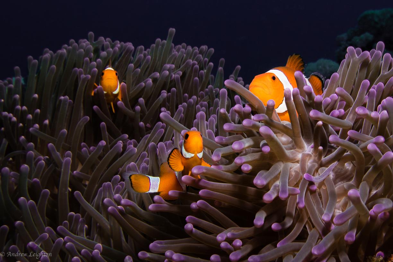 Common Clown in Purple Anemone