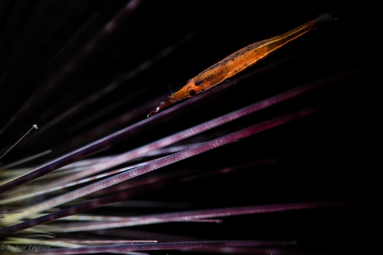 Sea Urchin Shrimp