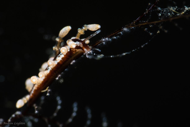 Undescribed Eubranchus Nudibranch (sp.25)