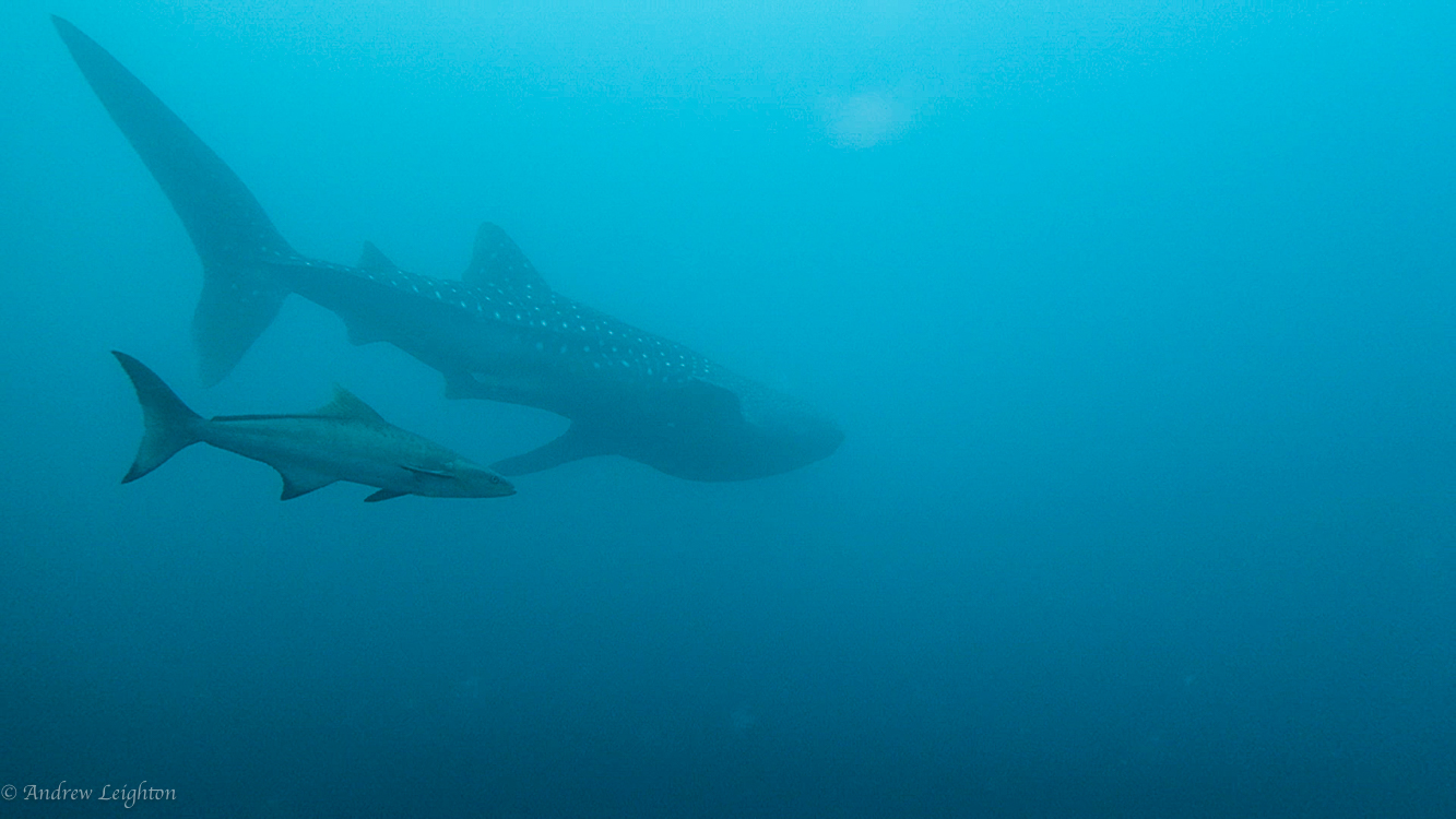 Whale Shark with Cobia