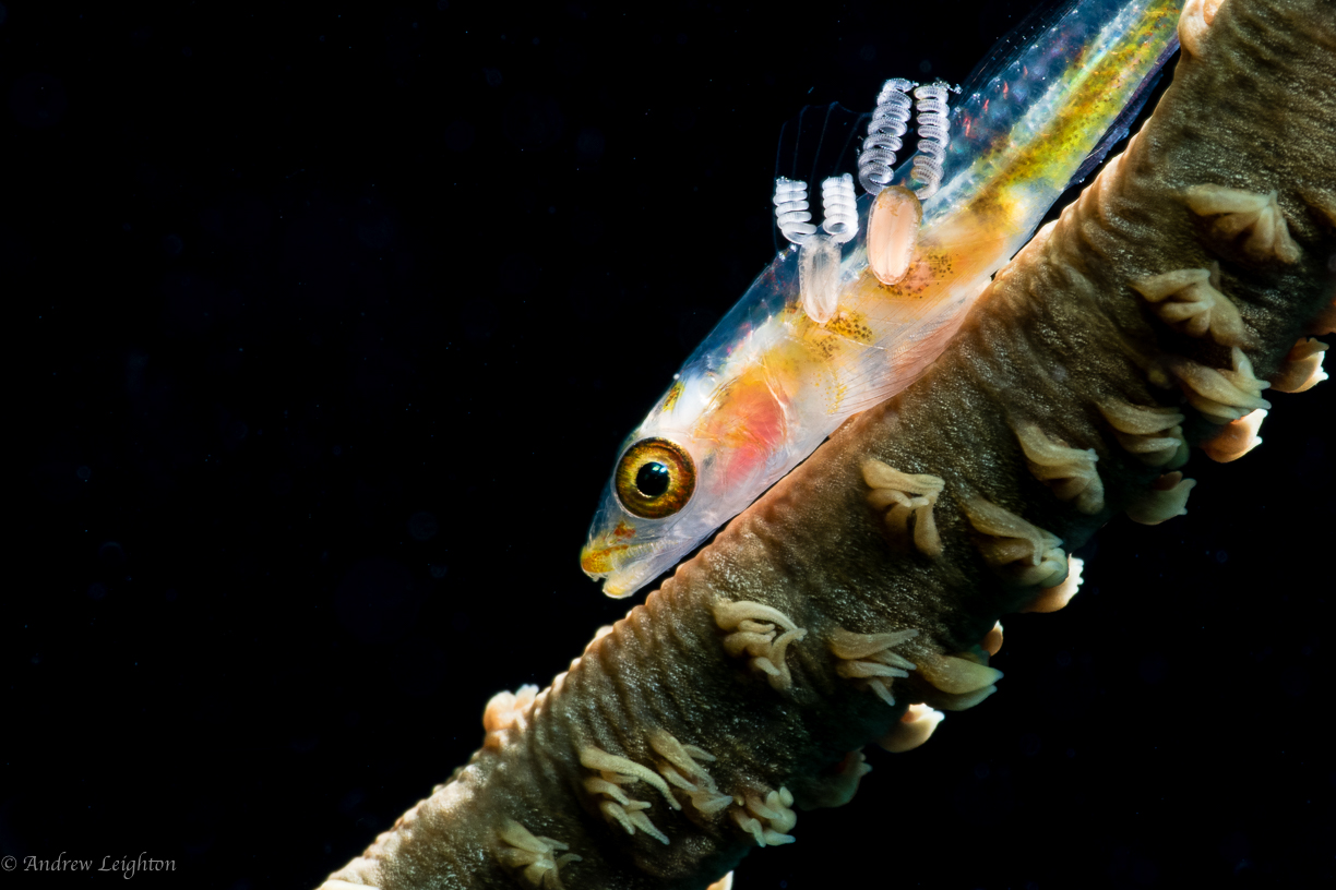 Whip Coral Goby with parasites