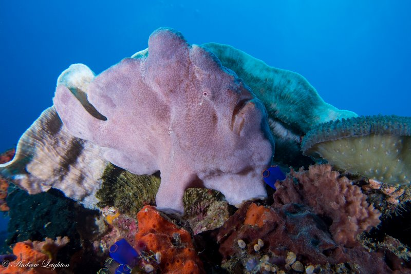 Pinkish Griant Frogfish