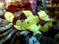 Warty or Painted Frogfish