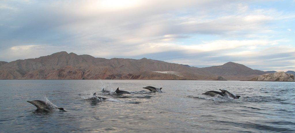 Dolphins - Bahia de los Angeles