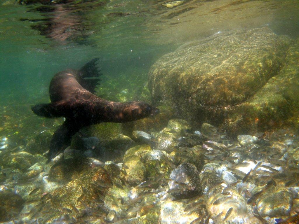Baja sea lion