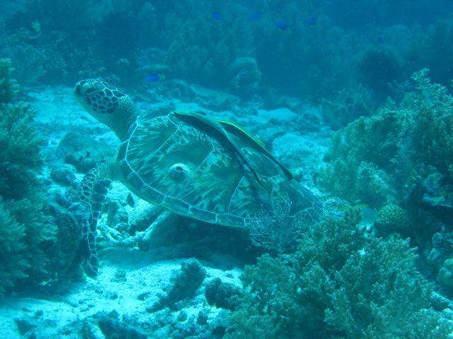 Loggerhead, 2 Remora fish, and a barnacle.